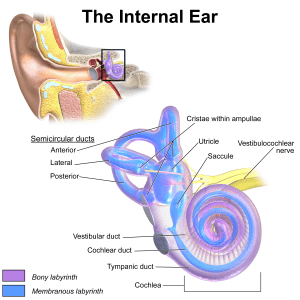 An image showing the inner ear and vestibular system. Vestibular disorder treatment may be necessary
